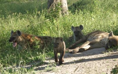 Spotted hyena family