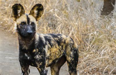 A female from one of the Wild Dog packs Wildlife ACT monitors in Hluhluwe-iMfolozi