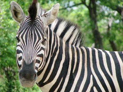 Zebra  © www.african-safari-journals.com