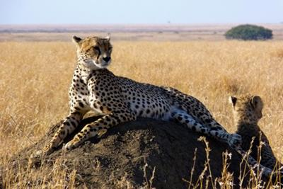 Female Cheetah (and one of three cubs), Serengeti Plain