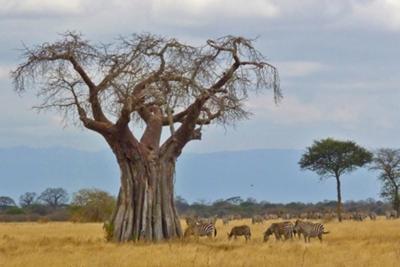 Baobab Tree and grazing Zebras, Tarangire NP, Tanzania