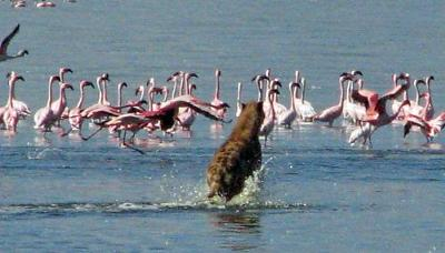 Flamingo Chasing Hyena