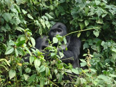 My best highlight for the safari was seeing these gorillas in Bwindi