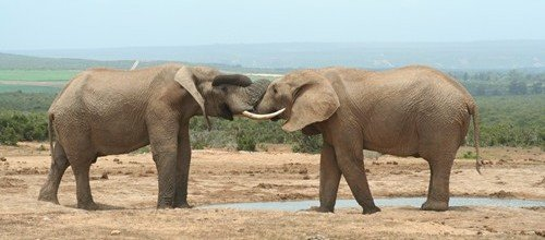 2 Elephants in Addo
