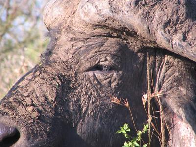 Buffalo Bull Close Up