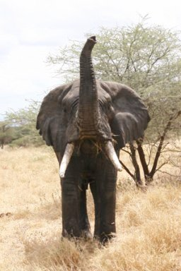 Tanzania Elephant Greeting