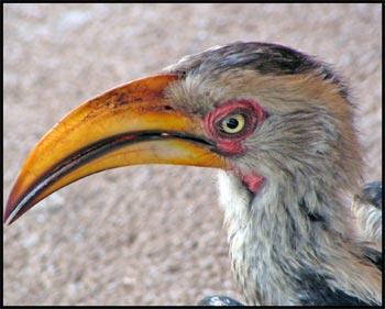 Yellow-billed hornbill   © www.african-safari-journals.com