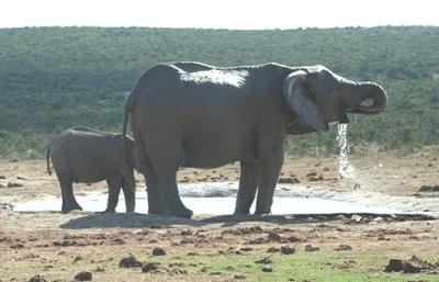 Elephants at an Addo water hole