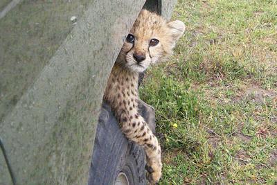 Cheetah Cub Straddling A Tire