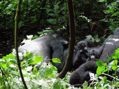 Habinyanja Gorillas
