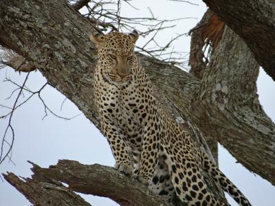 Beautiful, big leopard