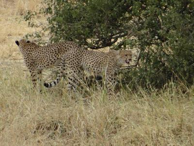 Two cheetah brothers feasting on their recent kill