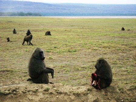 Baboon meal