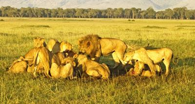 Lion Pride Feeding