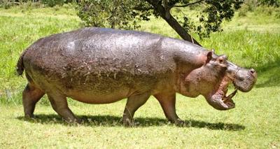 Really Angry Hippo