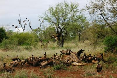 Over 100 vultures of 4 different species feasting on a giraffe carcass
