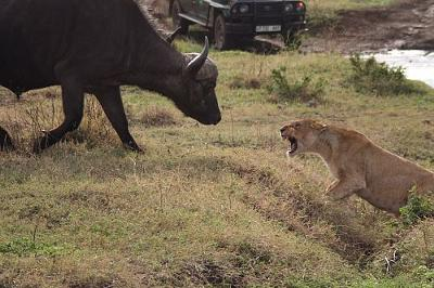 Buffalo challenges a lioness