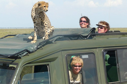 Cheetah on the roof rack