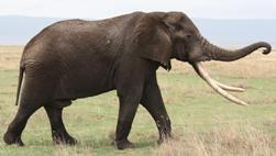 Elephant - Fabiano Mazza