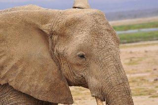 Elephant - ©Dominic Nardi