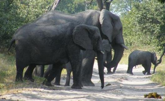 Elephants in Moremi