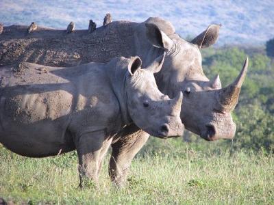 Imfolozi Rhino Mini-Me