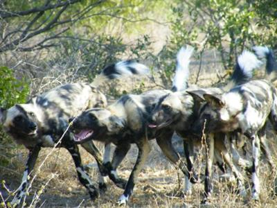 Close encounter with wild dogs