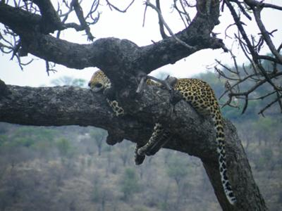 Farewell gift - leopard in a tree before exiting the park