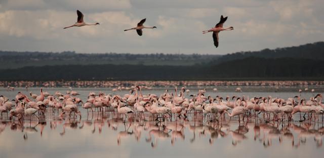 Flamingoes - Fabiano Mazza