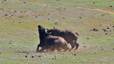 Cape buffalo fight at Addo