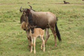 Gnu and baby - ©Keith Caverly