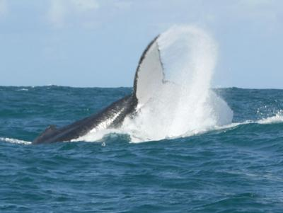 Whale watching off the coast of Ile St Marie
