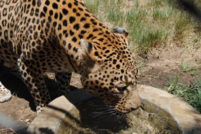 Leopard at Moholoholo Rehabilitation Centre