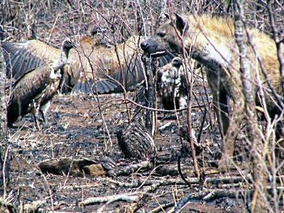 Hyena and Vultures at a Cheetah Kill