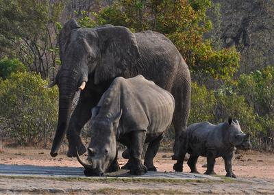 Elephant and mom and baby white rhinos