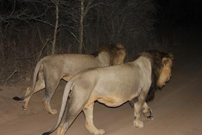 It was a highlight seeing 2 male lions at night within 2 feet of the car at Thornybush