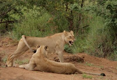 Lions close to the car