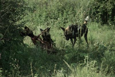 Wild dogs feasting on their kill