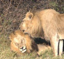 Okavango Delta - lions