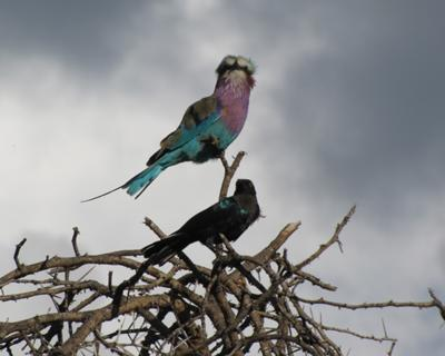 Lilac breasted roller posing