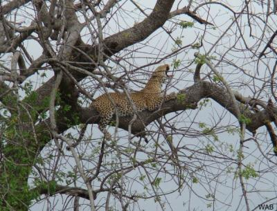 Leopard in the Kruger Park