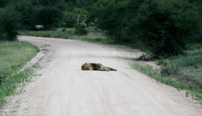 Lion sleeping right in the middle of the road