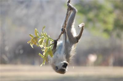 Vervet monkey fooling around