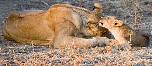 Lion cub and lioness