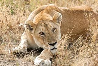 Lion - ©Nancy Andre