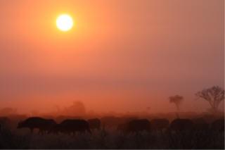 Kruger morning rush hour