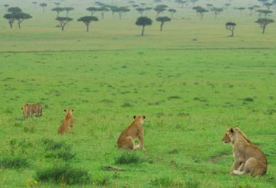 Lions -  ©Seppo Suomela