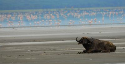 Buffalo -  ©Seppo Suomela