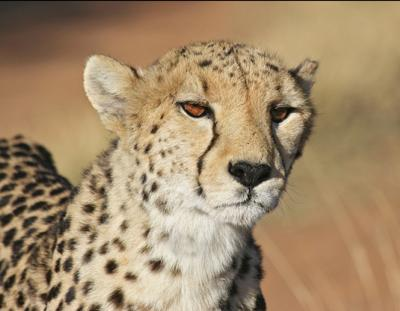 Cheetah close-up at Okonjima