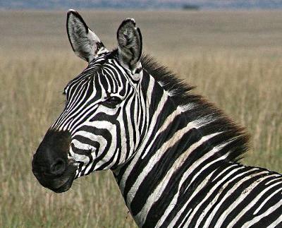 Zebra Watches Lion